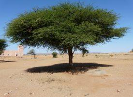 Desierto-acacia-marruecos