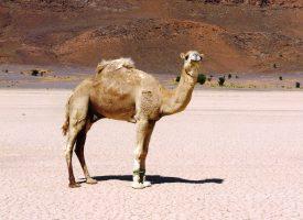 Desierto-dromedario-marruecos