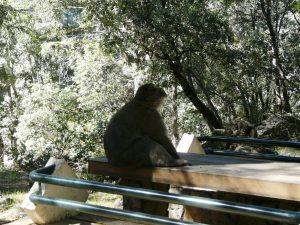 Ifran-macaco-del-atlas-medio